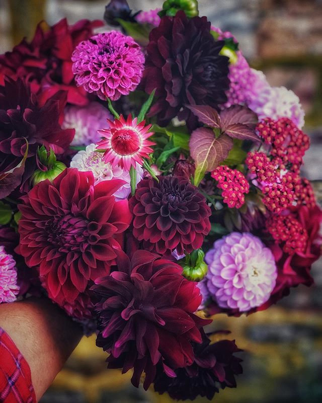 For Mom, my dahlia Queen.        #dahlias #dahlia #ayearinflowers #dahliaseason #handtiedbouquet #burgundydahlias #fallflowers #darkandmoody #purpleflowers #flowerfarm #flowerfarmer #flowerfarmerflorist #emmaus #lehighvalley #organicflowers #localflowers #womenwhofarm #ladyfarmer #supportlocalfarms #buyfreshbuylocal #madeinpa #giveflowers #growlove    