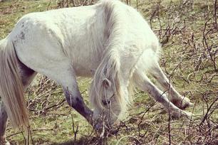 wild-Dartmoor-Pony.jpg