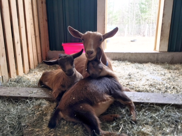 Momma goat looks after her kids