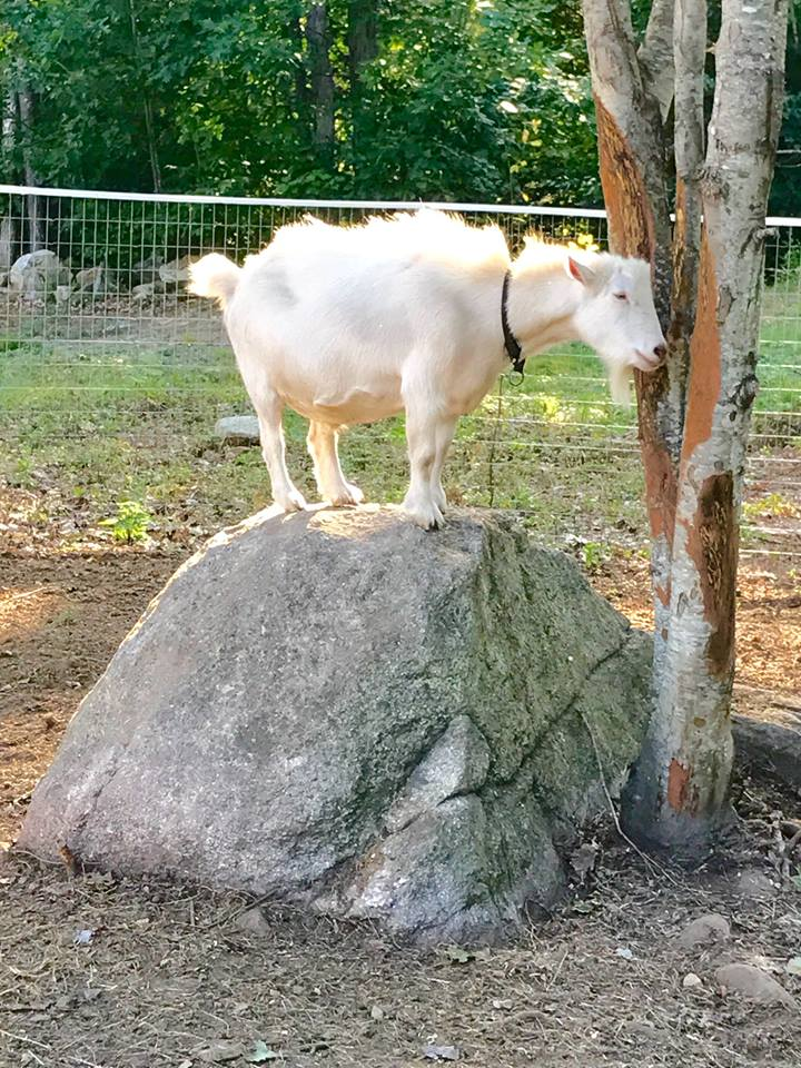 Bending Birch goat on a rock