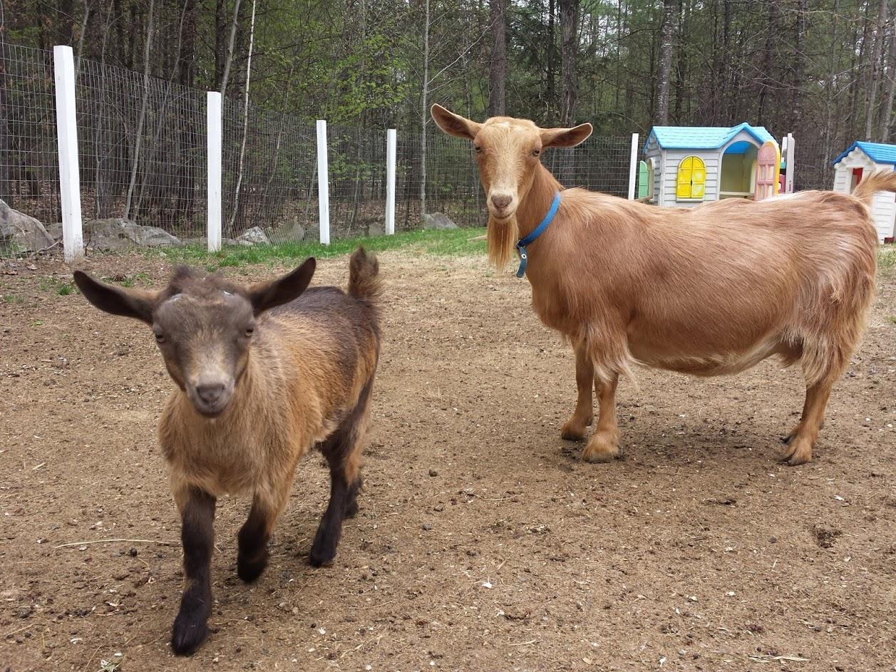 goats-staring.jpg