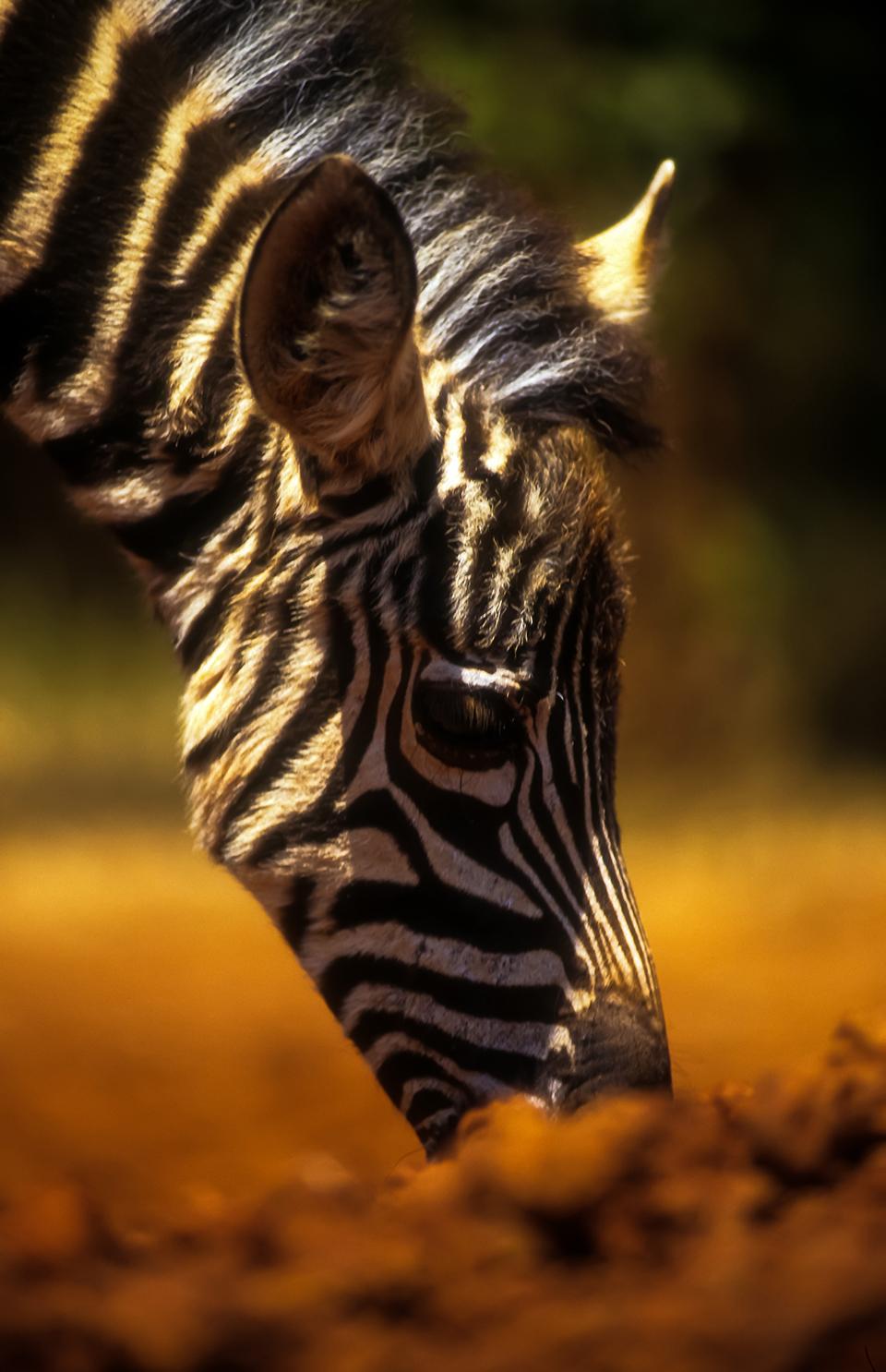 Baby Zebra at Daphne Sheldricks Orphanage, Nairobi, Kenya. Africa. 2000(Levels checked).jpg