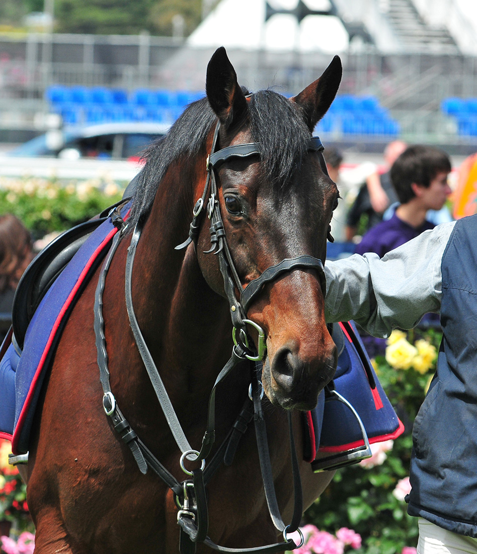 Image courtesy Turfstars - Lisa Grimm - BANJO at his best for Cup day.