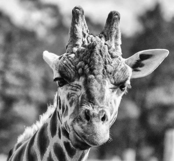 confused-giraffe.jpg