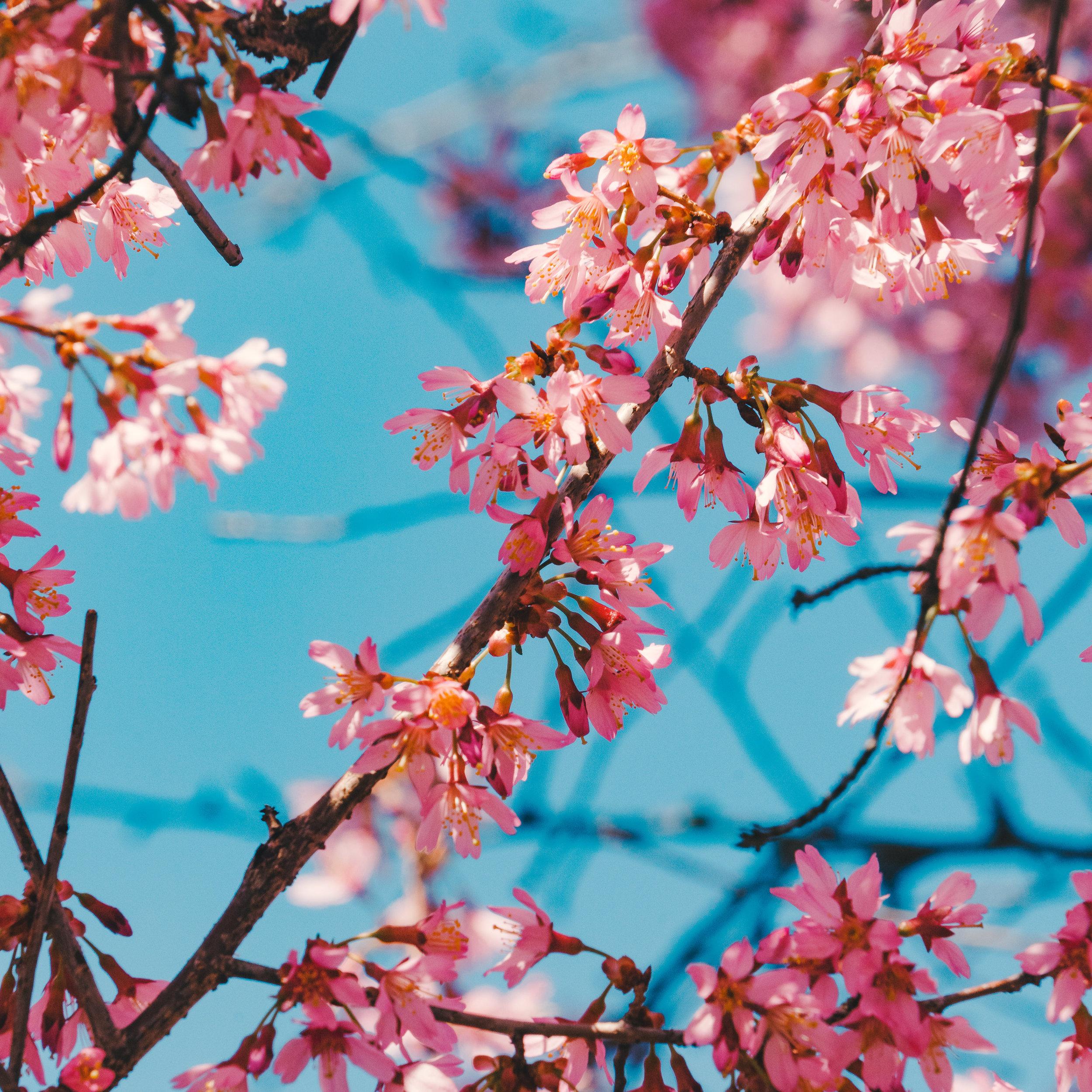 Cherry Blossom in Boston.jpg