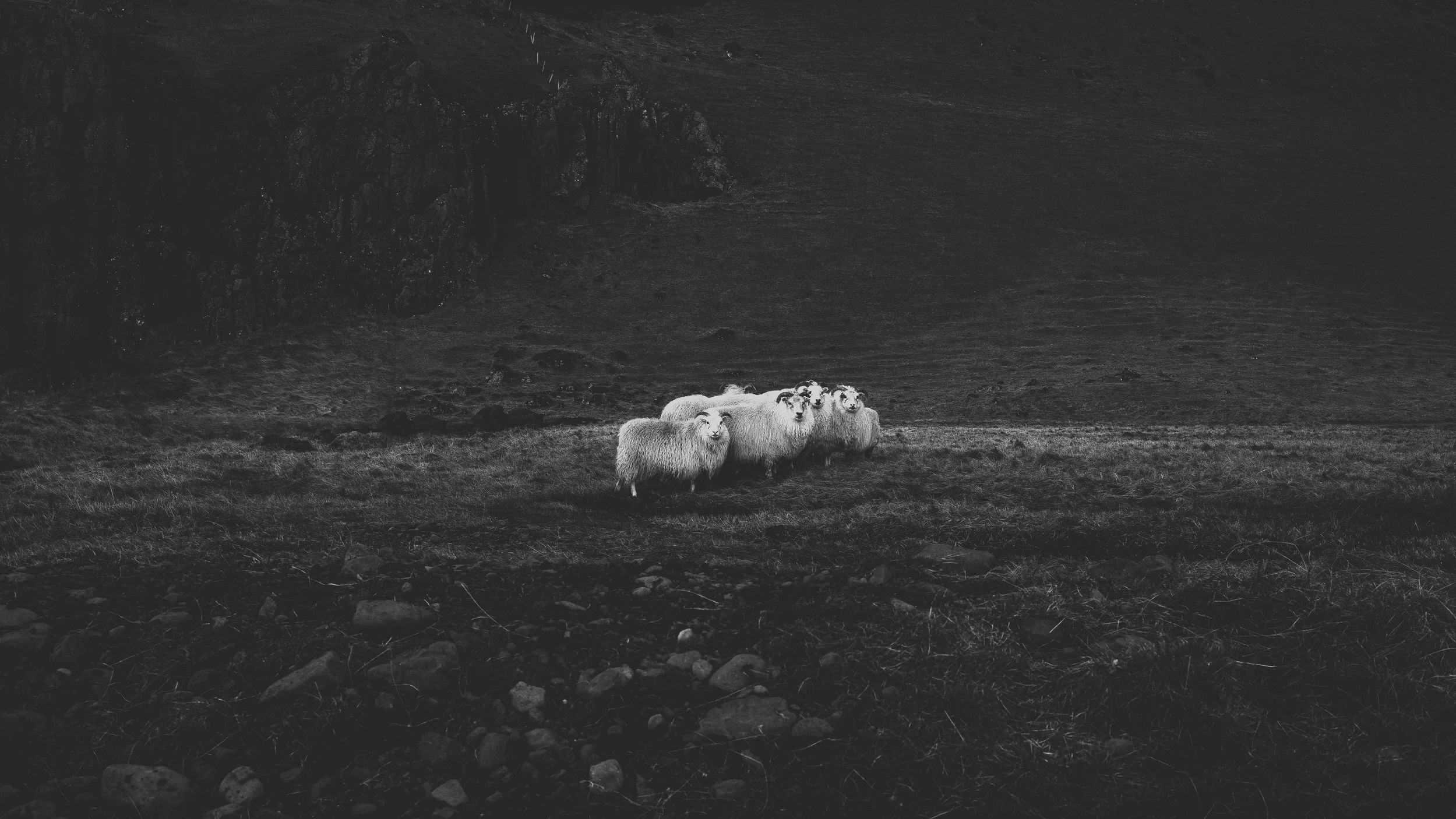 Sheep in Black and white.jpg