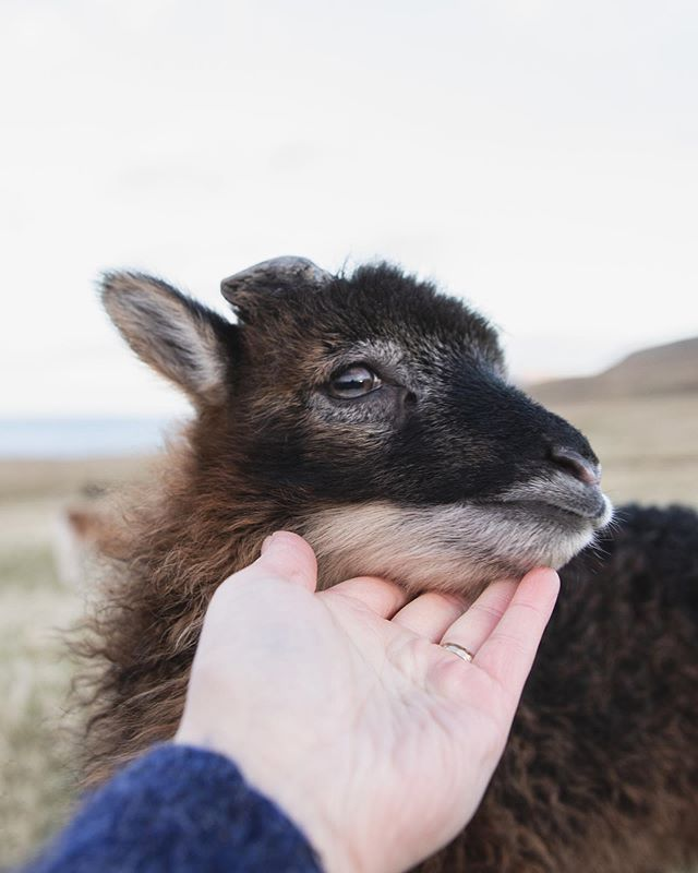 Meet Jack 🐏 one of our two bottle fed lambs. He's a cheeky little fella' , loves cuddles and to goof around especially teasing the chickens is one of his favorite things. When visiting Hanusarstova you are welcome to  feed him and give him cuddles of course 💕 Would you  like to meet Jack ?