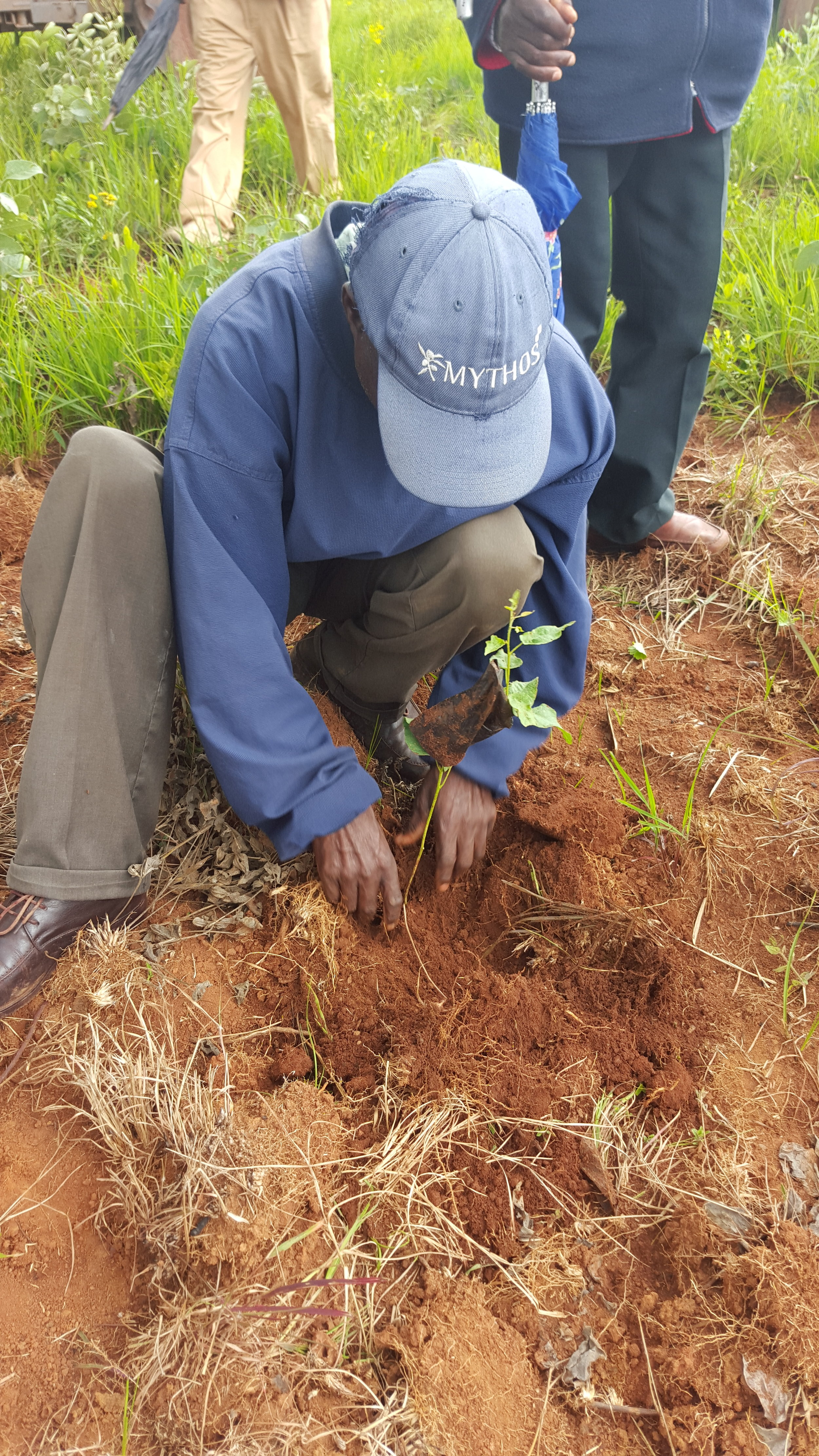 Planting the seedling in the field
