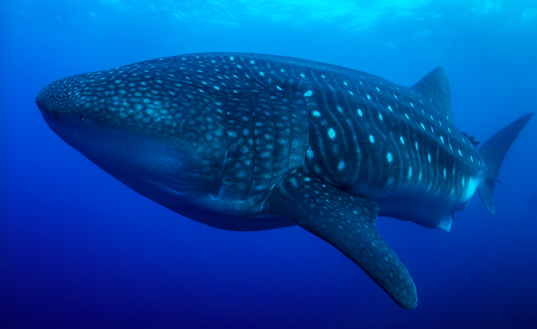 Whale Shark in the Galapagos Islands. Photographer: Jonas Legernes
