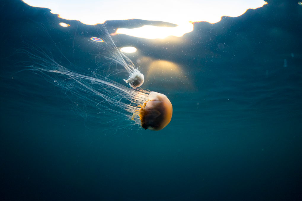 Two Lion's Mane Jellyfish swimming by at 70 degrees North. Photographer: Jonas Legernes