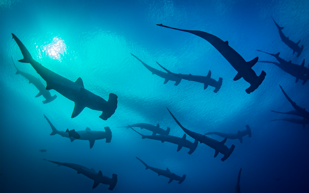 "Scalloped hammerhead sharks above a ""cleaning station"" in the Galapagos Islands. Photographer: Jonas Legernes"