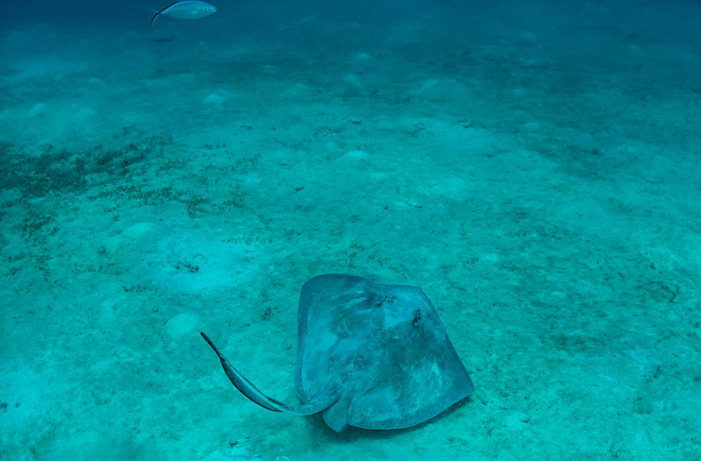 A Southern Stingray in a bay on St. Thomas in the US Virgin Islands. Photographer: Jonas Legernes