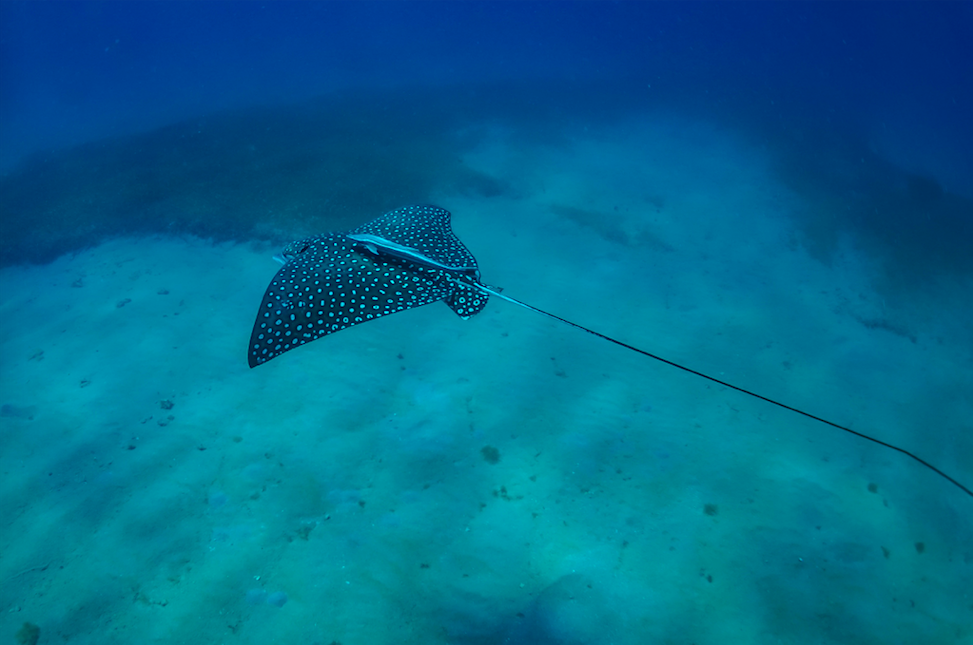 A Spotted Eagle Ray swimming by on Saba Island, US Virgin Islands, with a Remora hanging on. Photographer: Jonas Legernes