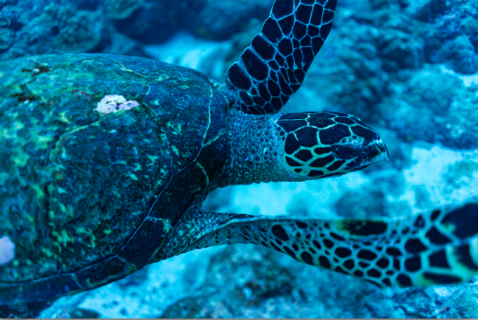 A Hawsbill Sea Turtle swimming over a reef in the Galapagos Islands. Photographer: Jonas Legernes.