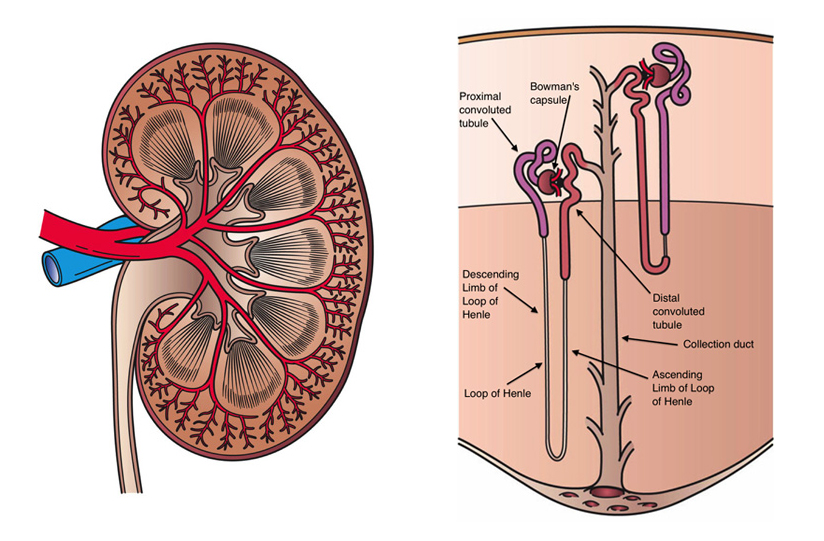 Kidney Anatomy: Artwork by Holly Fischer. https://upload.wikimedia.org/wikipedia/commons/0/01/Kidney_Cross_Section.png