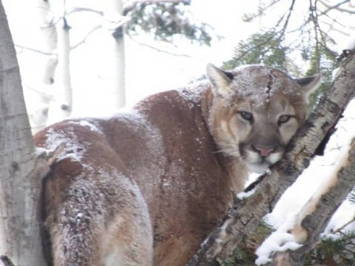 mountain-lion-2016-12.jpg