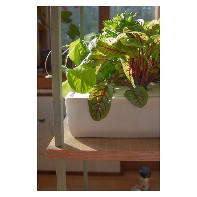 Fait toujours soleil à l'intérieur avec Hirta ☀️ vivement les oseilles sanguines dans les salades estivales 🌱☀️🌱 #homegardening #homedecor #interiordesign #indoorgarden #madeincanada #ledgrow #kitchengarden #growyourownfood #lowtech #slowfood #ethicallymade #hirtagreenshelf #easy #nogreenthumbneeded