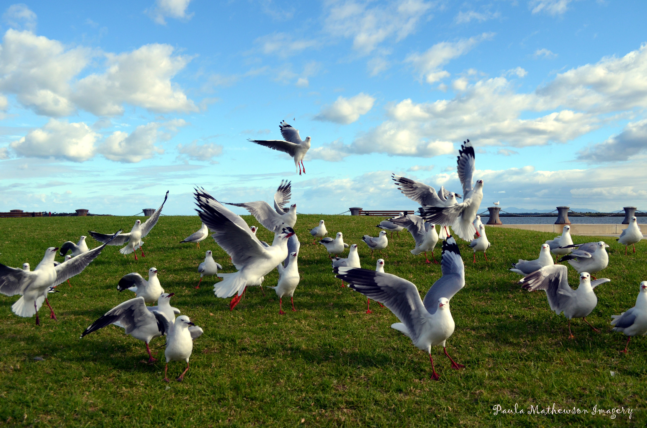 Port Albert Seagulls.jpg