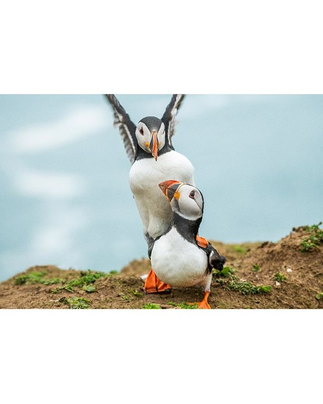 •New Episode• we photograph Puffins on Skomer Island. Check it out in our bio. Let us know what you think!