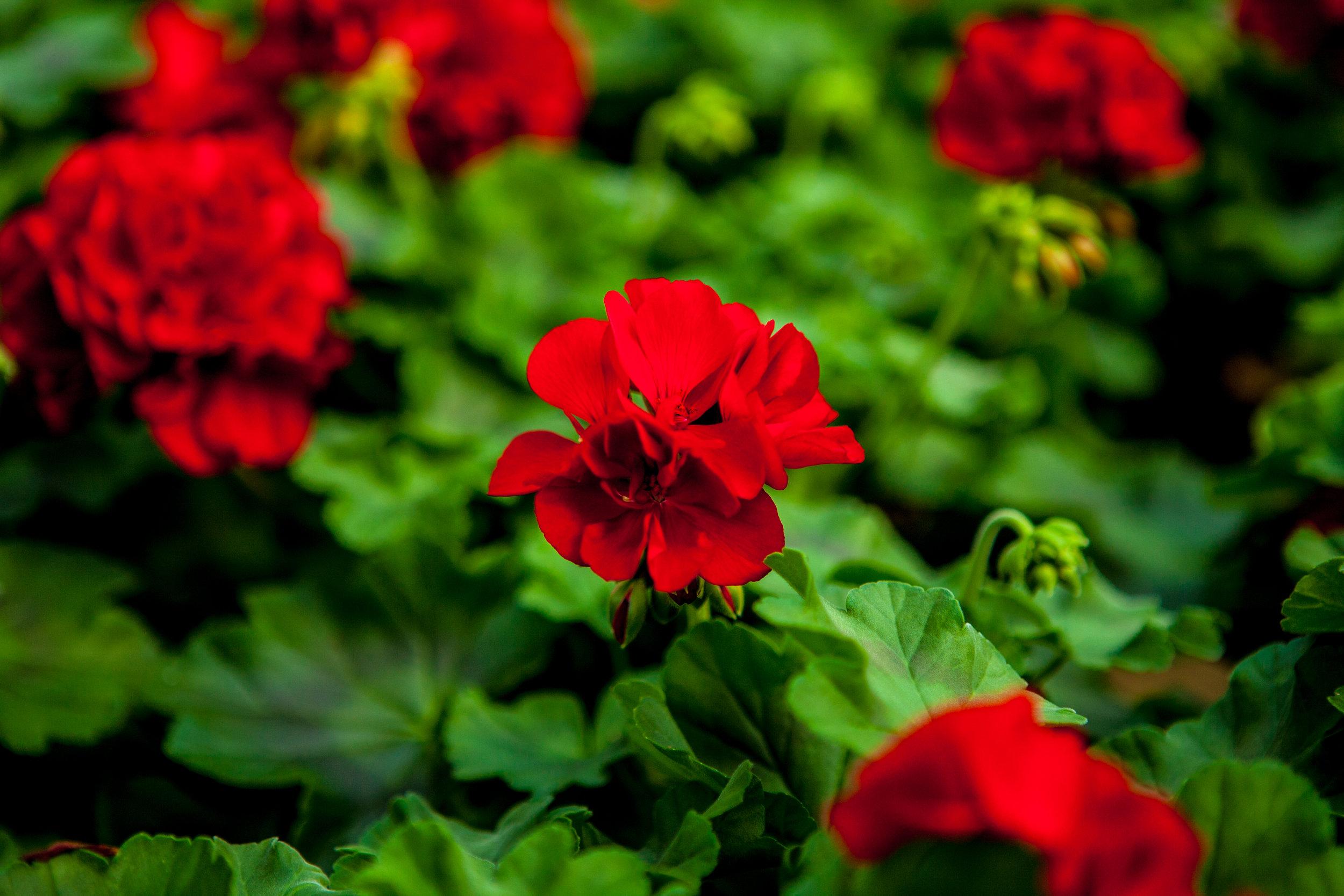 Pelargonia `Calliope Dark Red`