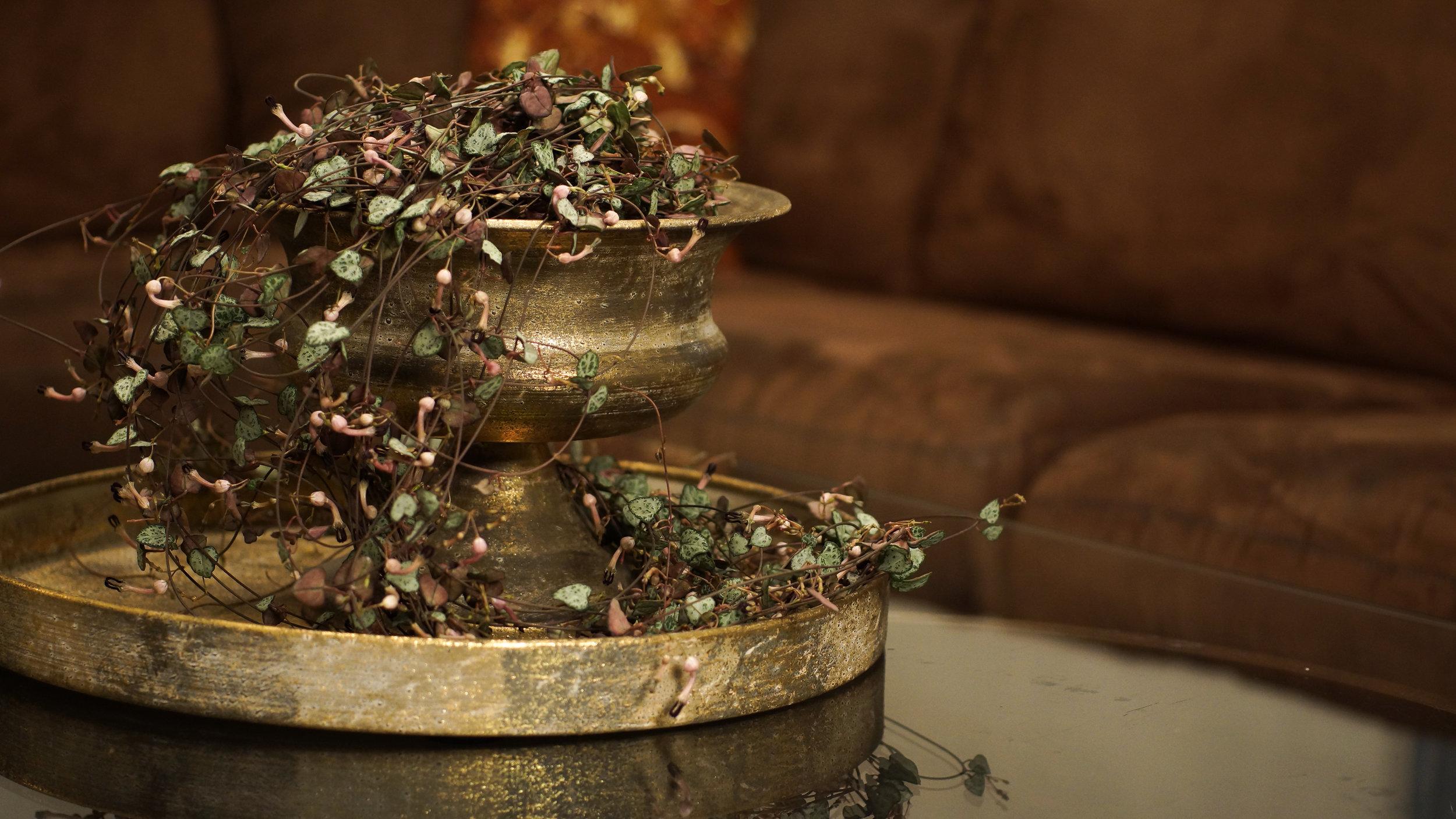 Ceropegia woodii ( Hjerteranke) - Denne er veldig hardfør og dekorativ! Kan stå både lyst og litt inn i rommet.
