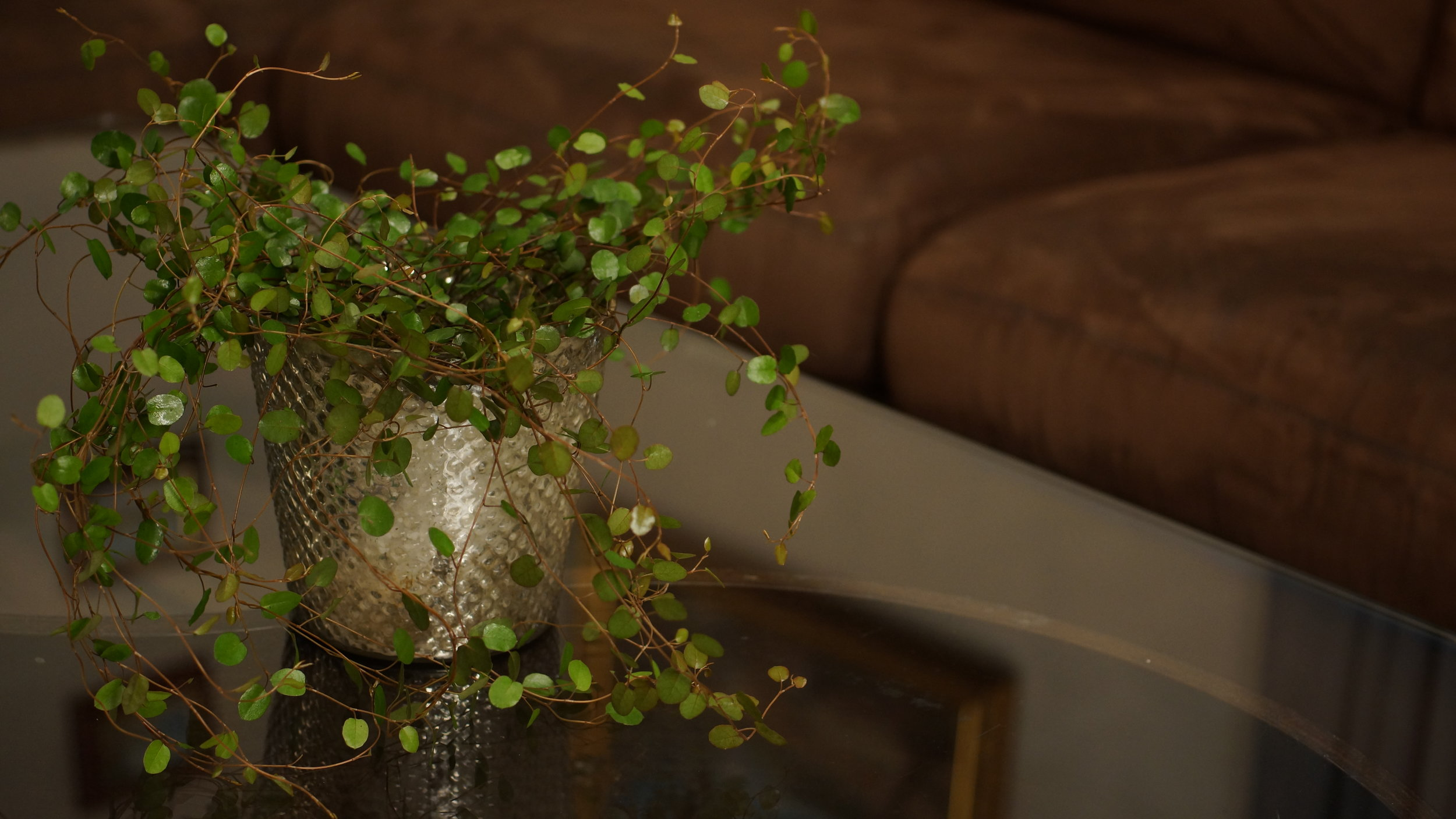 Muehlenbeckia - `Pletter i luften` lyder navnet godt. Ikke sett denne over en radiator eller lignende om vinteren. Da tørker den lett ut. Gir du den jevnt med vann, er den utrolig dekorativ!