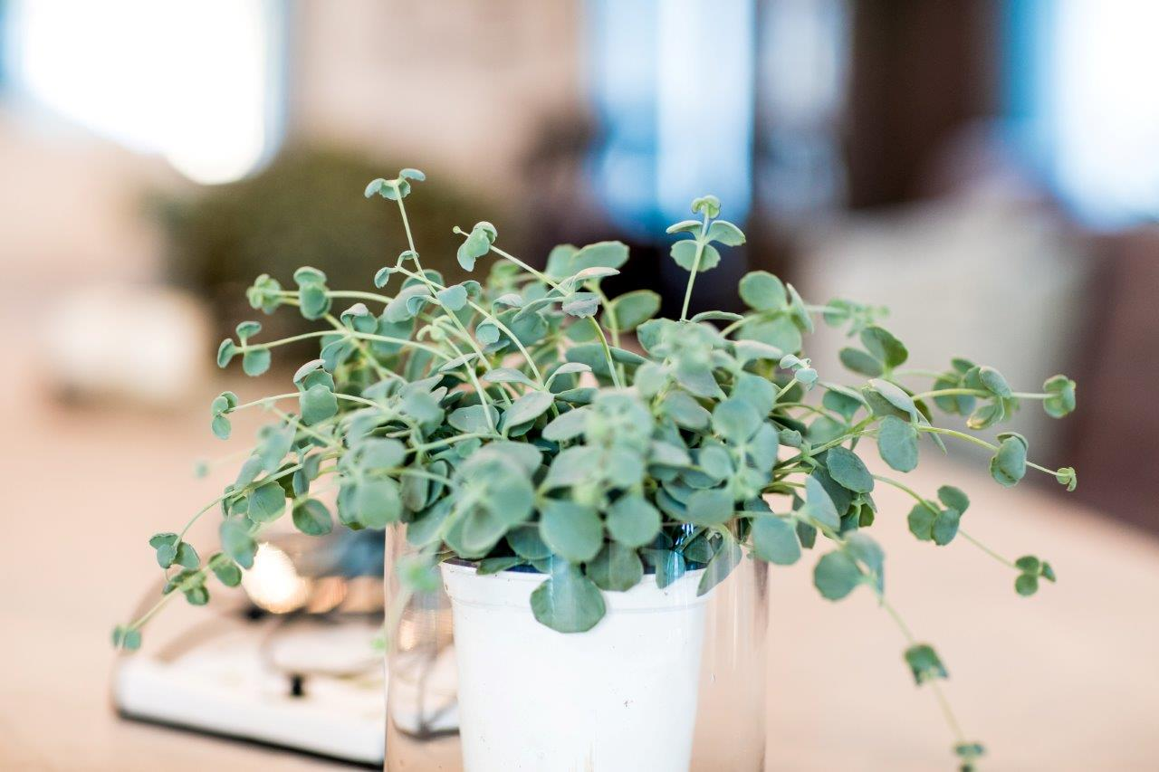 Sedum sieboldii er en av våre favoritter!! Utrolig holdbar og dekorativ. Kan også få rosa blomster i klaser inne.