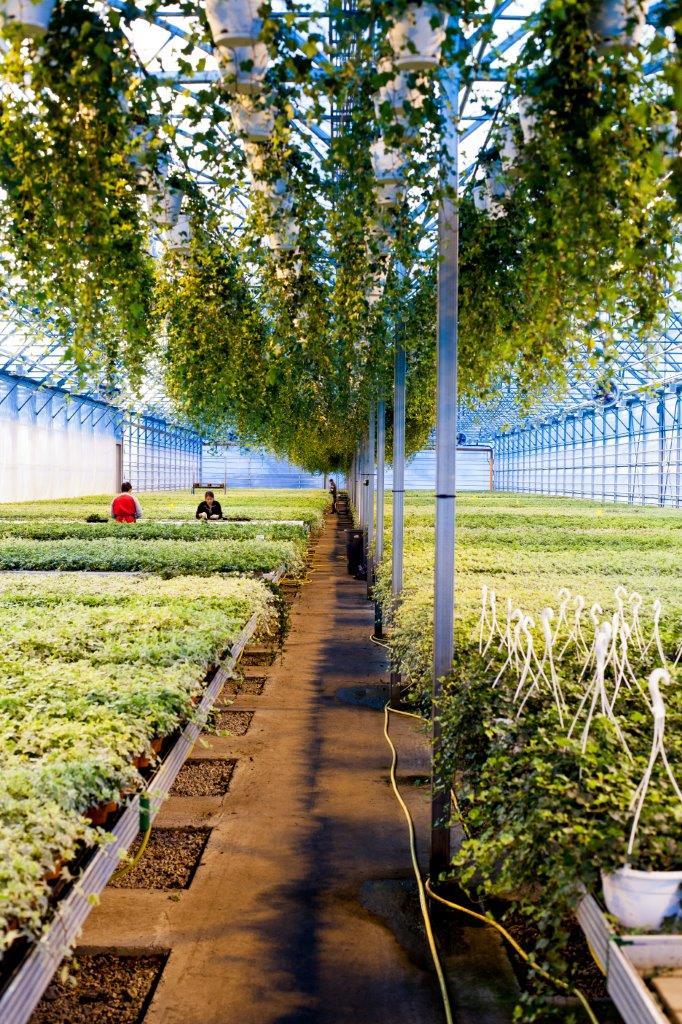 Vi dyrker Eføy både på veksthusbord og i taket. Her utnyttes plassen så godt vi kan!