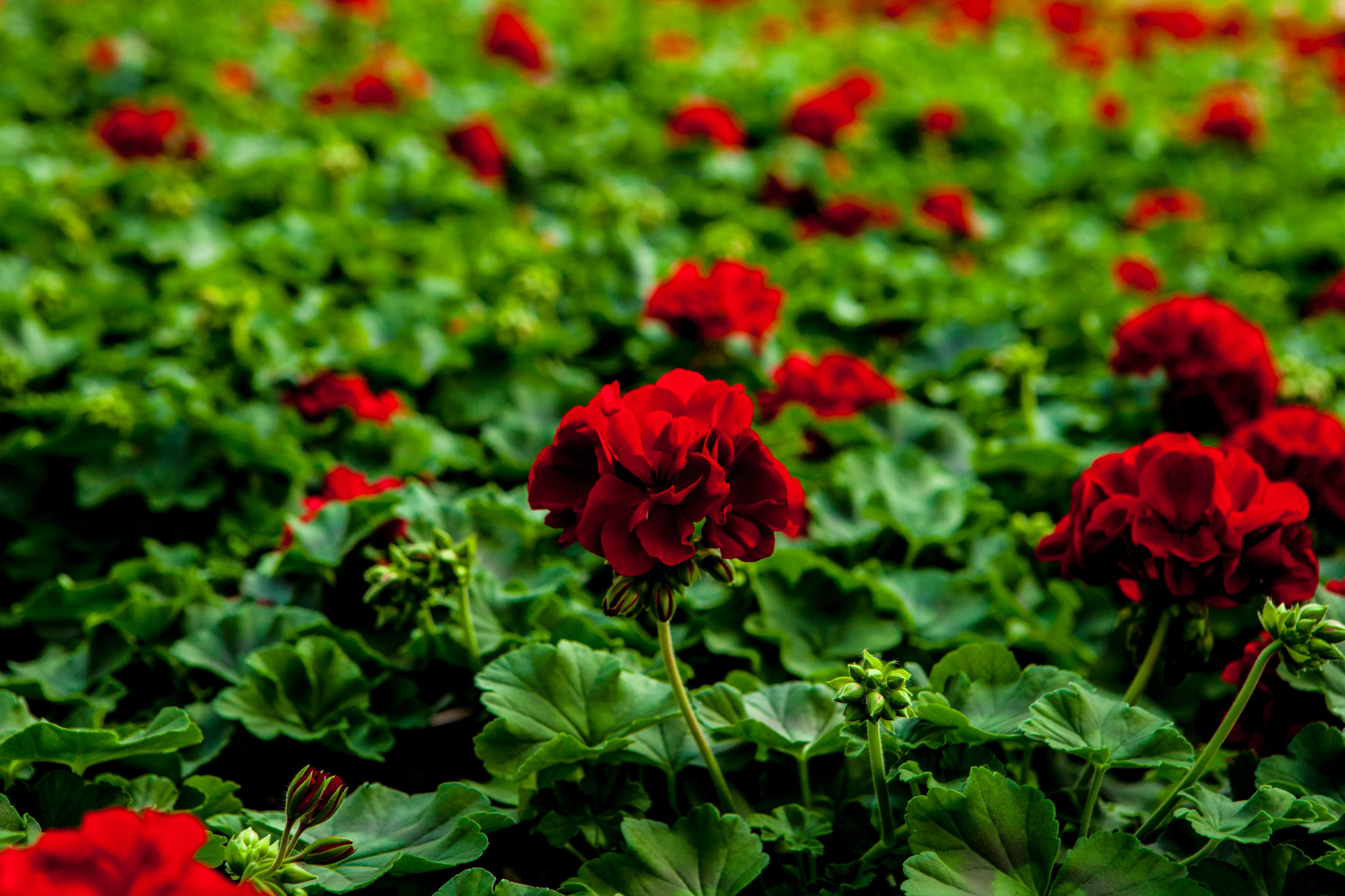 Et blomsterhav av mørk rød Pelargonia.