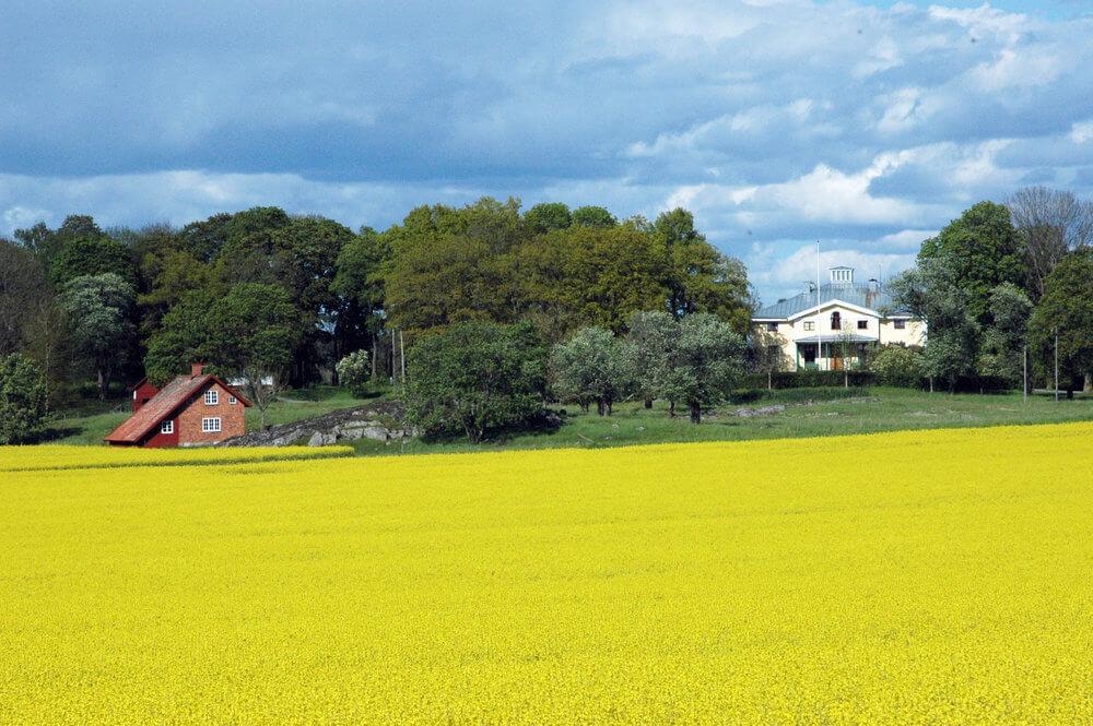 Gyllene rapsfält med corps de logi i bakgrunden.