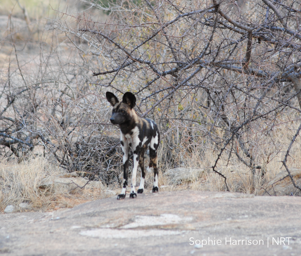 Wild dog in Kalama Conservancy