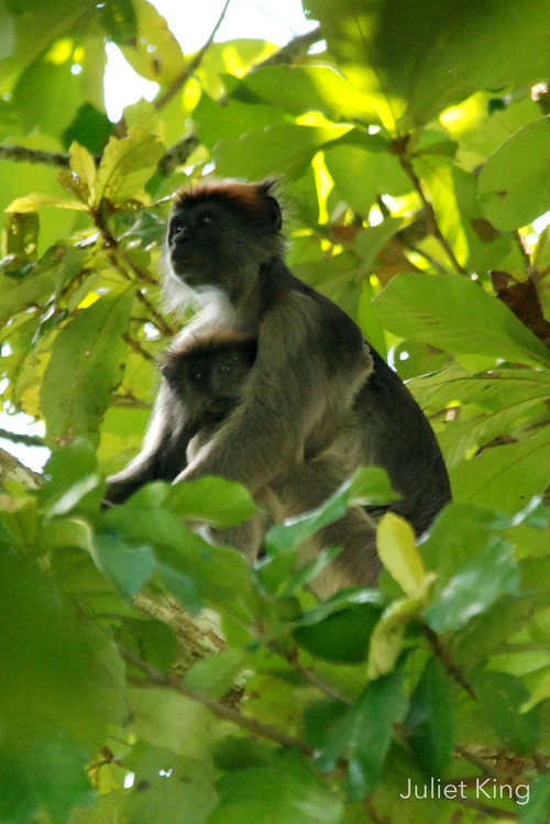 Tana River Red Colobus, Ndera Conservancy