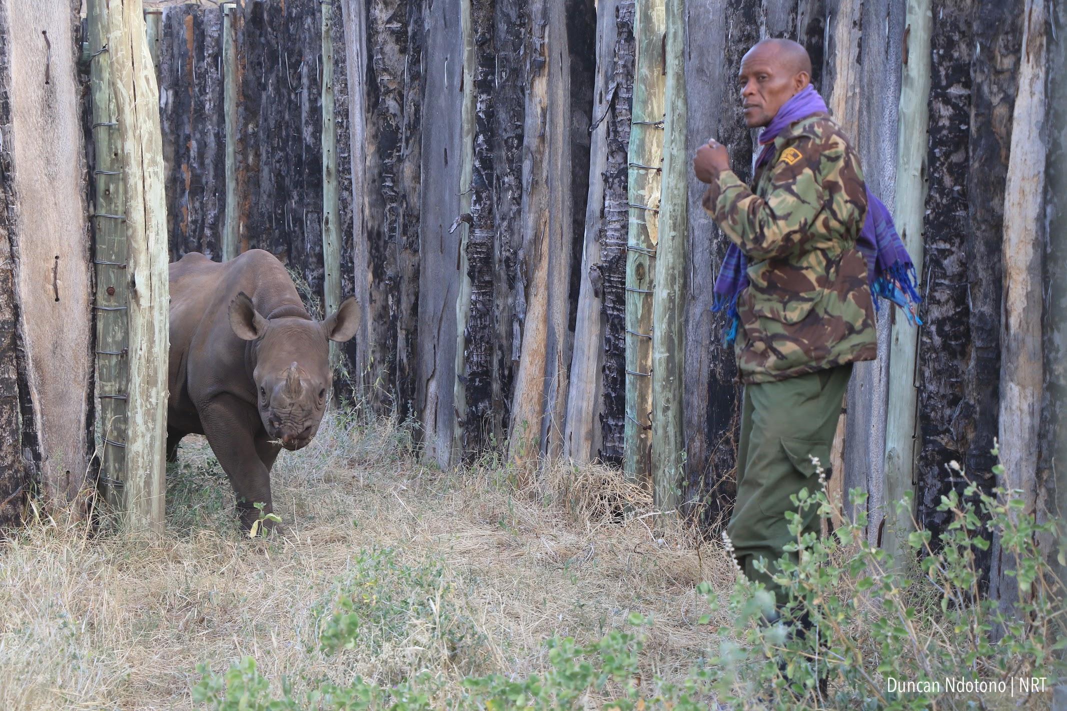 Black rhino calf Loijipu returns to Sera Conservancy