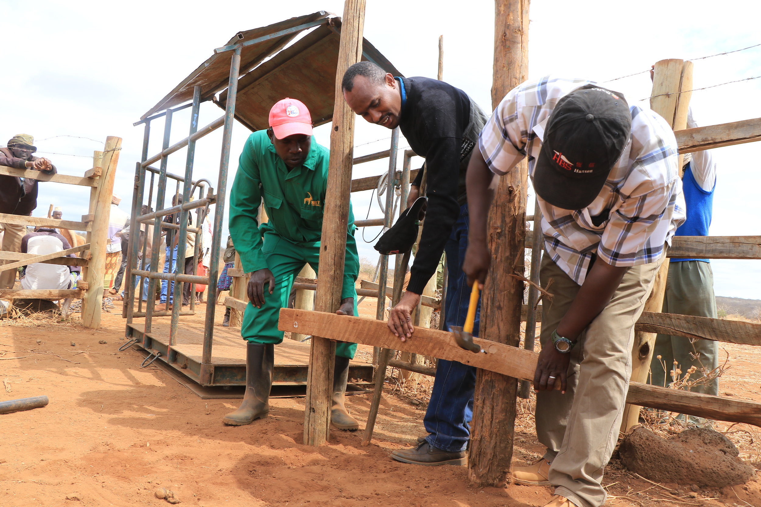 A mobile cattle crush is constructed. The LivestockWORKS team have mobile market infrastructure, including scales, crush and branding equipment. Photo: Duncan Ndotono, NRT.