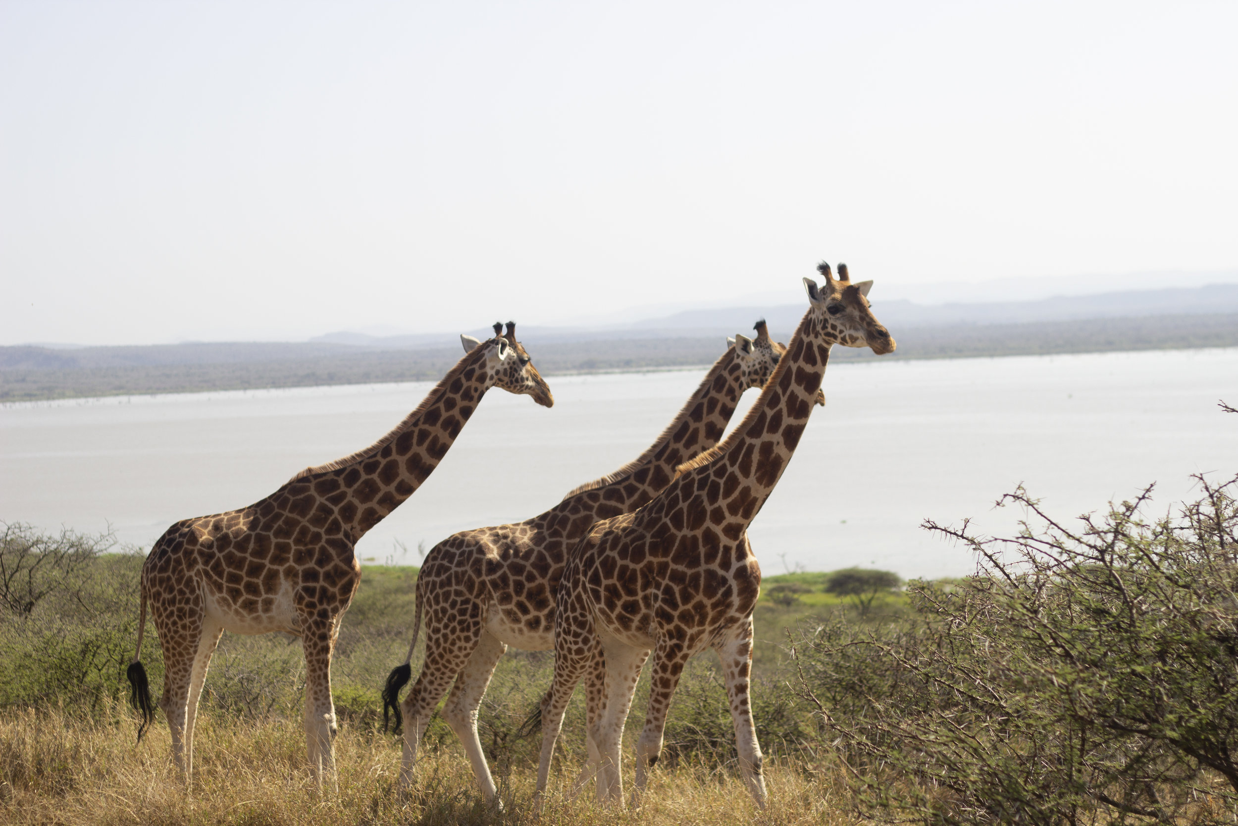 Three of Ruko's Rothschild giraffes, who were transported to the island by boat in 2012. Photo: Ivy Wairimu
