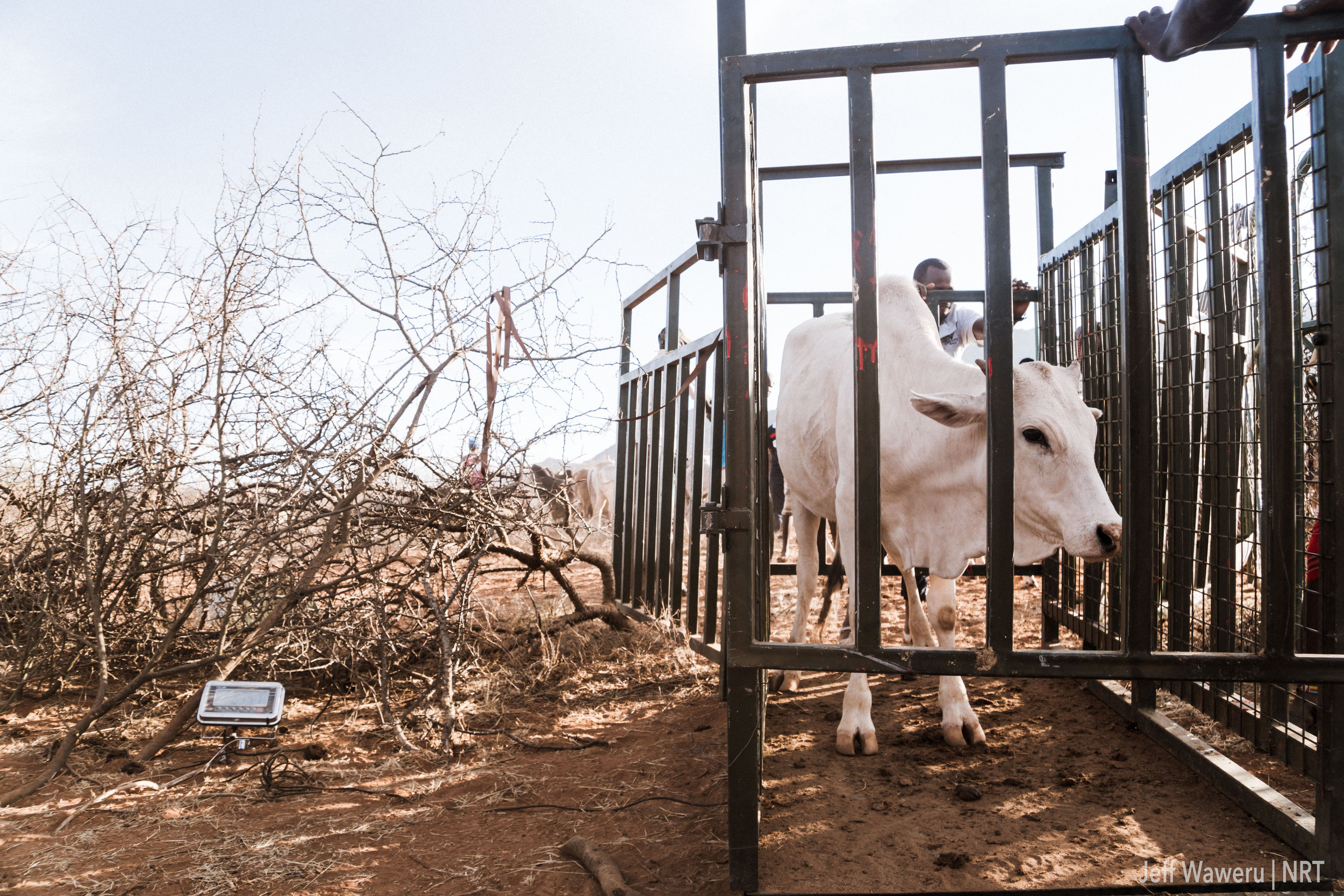 Cattle were microchipped and each weighed in a mobile weighing scale