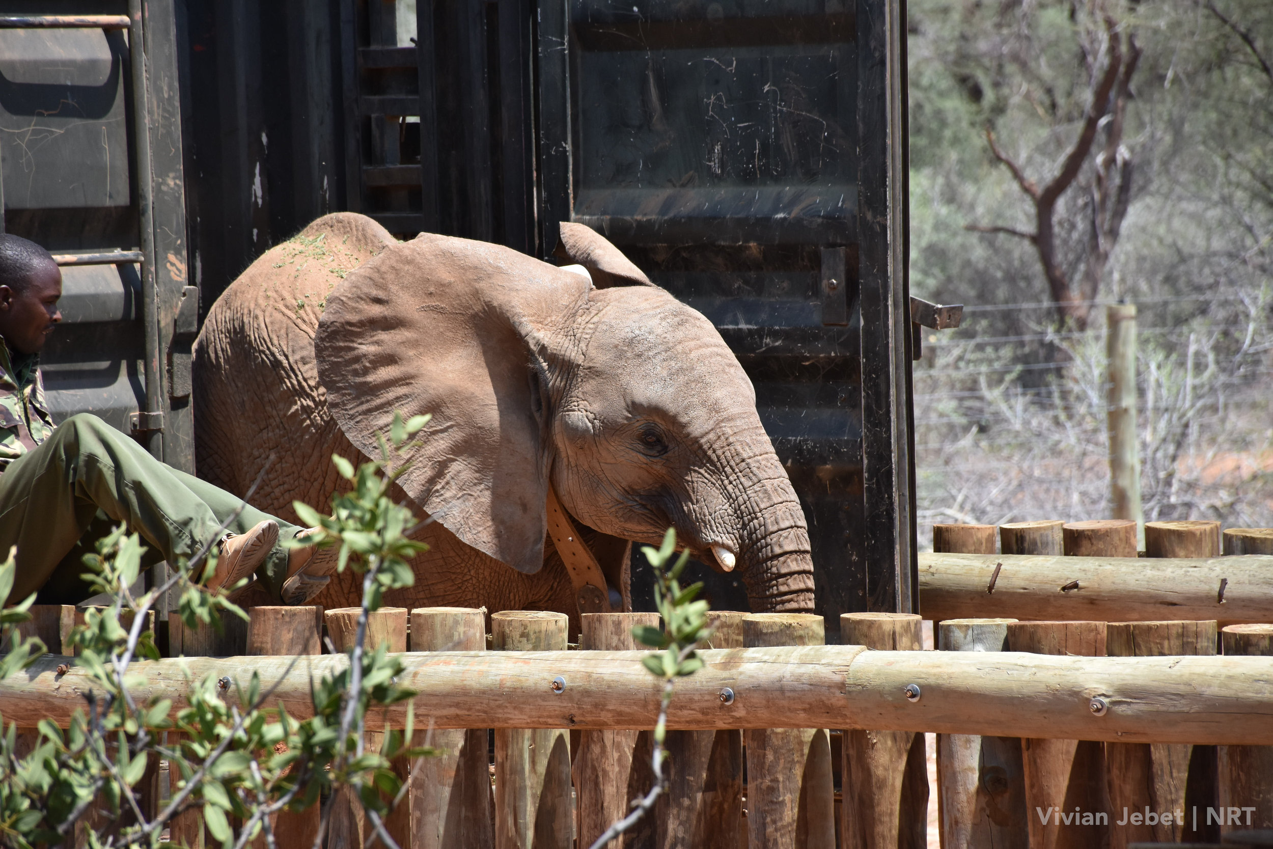 Warges leaves the transport crate and steps into his new home in Sera Community Conservancy