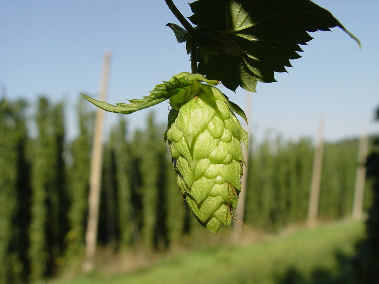 Hello, lady hop. Let's get to brewing. - Taken by LuckyStarr, Wikicommons.