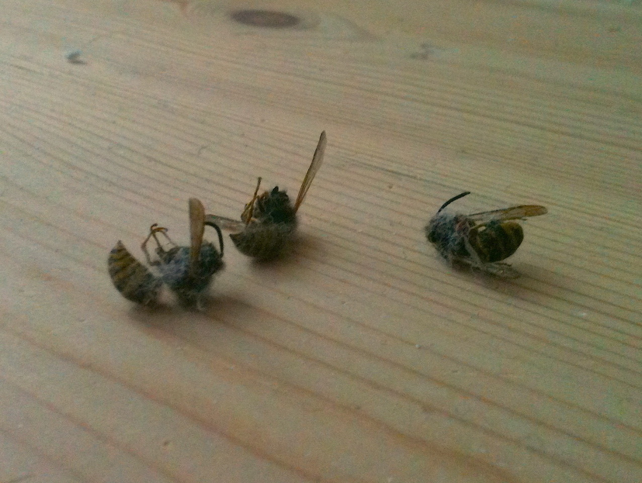 Yeah, I've NOTICED an infestation  Posted from: Copenhagen, Denmark Ikke ulig The Giant Bug in a brand new Edgar suit ravede jeg i nat, kvart i fem, rundt som en zombie uden styr på sovende lemmerog uden overblik over situationen.    Jeg drømte at jeg blev angrebet af hvepse…vågnede…kunne stadig hørehvepse; tænkte at jeg stadig måtte drømme; lagde mig ned igen;   ku' høre noget summe lige ved mit øre og var med ét lysvågen.      Ikke en men tre arrige hvepse tonsede rundt på den ret begrænsede plads mellem min hems og loftet i lejligheden.   Hvepse? Tre styk? I slutningen af oktober?!? What. The. Fuck.    Jeg måtte krybe over til den anden ende af hemsen hvor mine bøger står, hive den første og bedste fremog begynde jagten. Et kvarter senere ku' jeg trække dynen med ned på sofaen i stuen og efterlade 3 lig etpar meter over mig.      Death by Critical Linguistic Introduction (Second Edition)