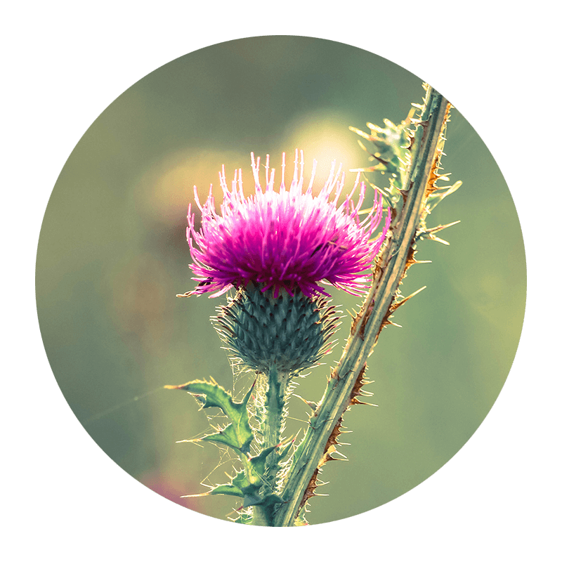Milk_Thistle.png