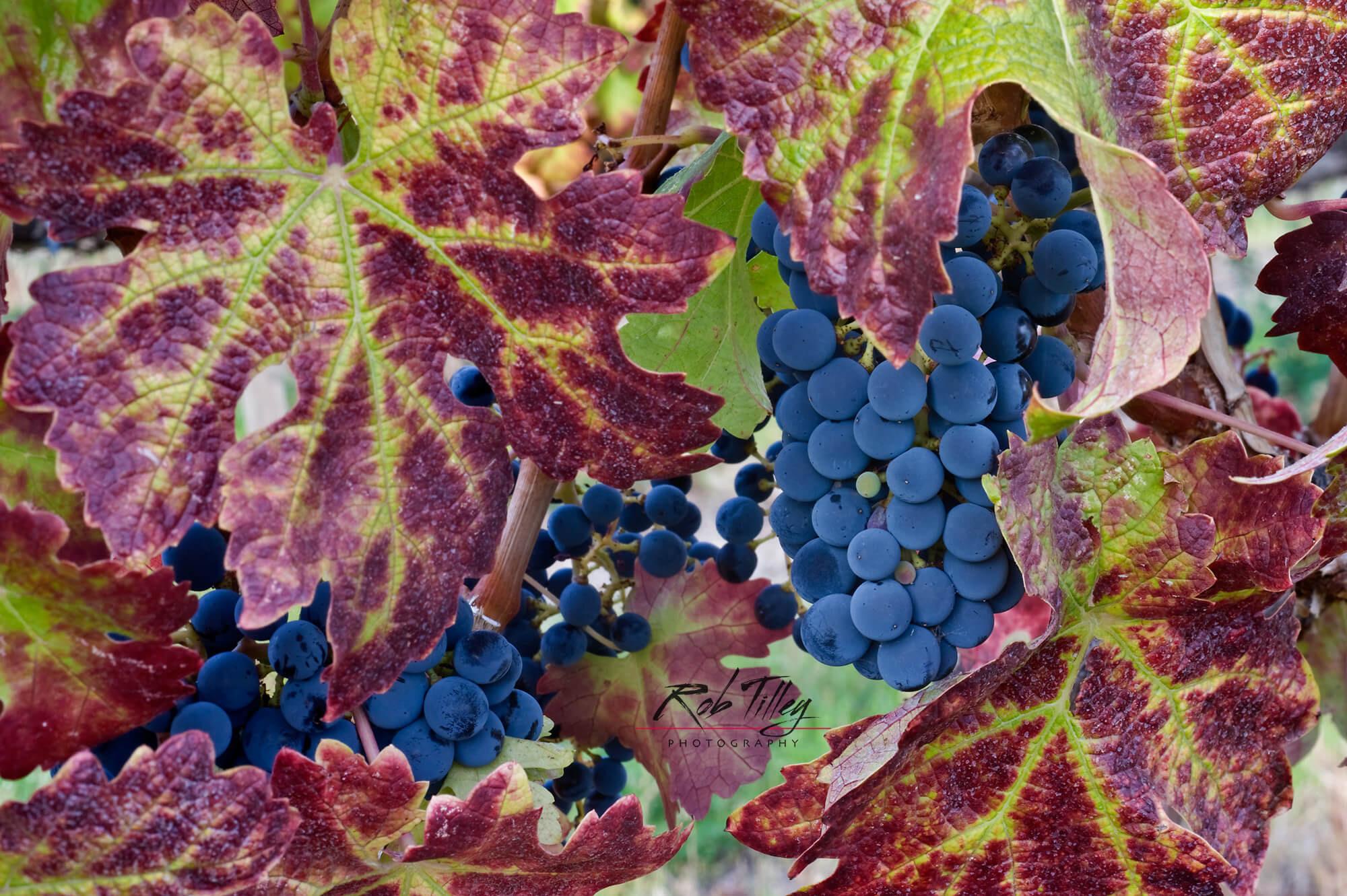 Cabernet Sauvignon Grapes I