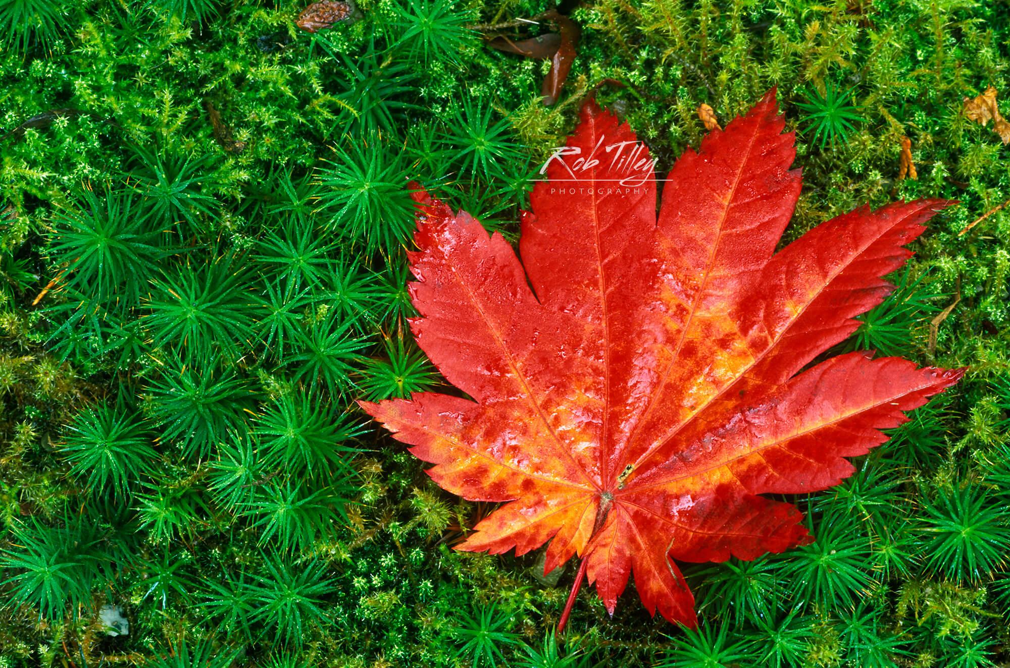 Japanese Maple Leaf on Moss