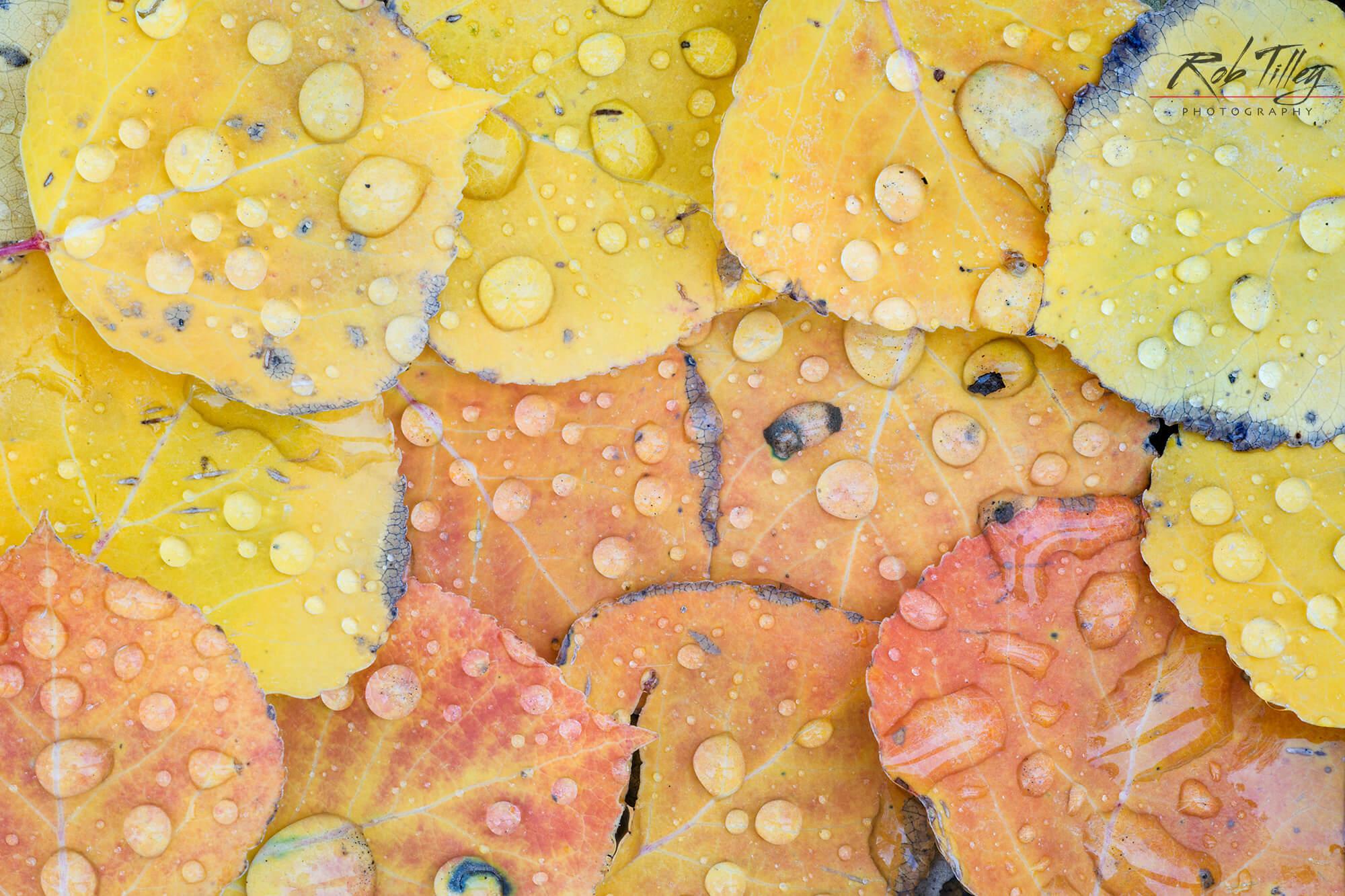 Water Drops on Aspen Leaves