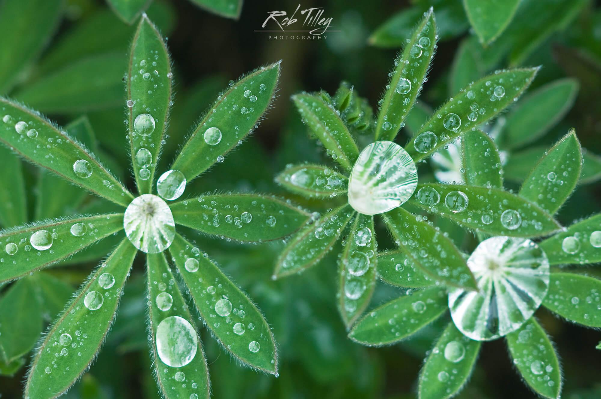 Water Drops on Lupine Leaves II