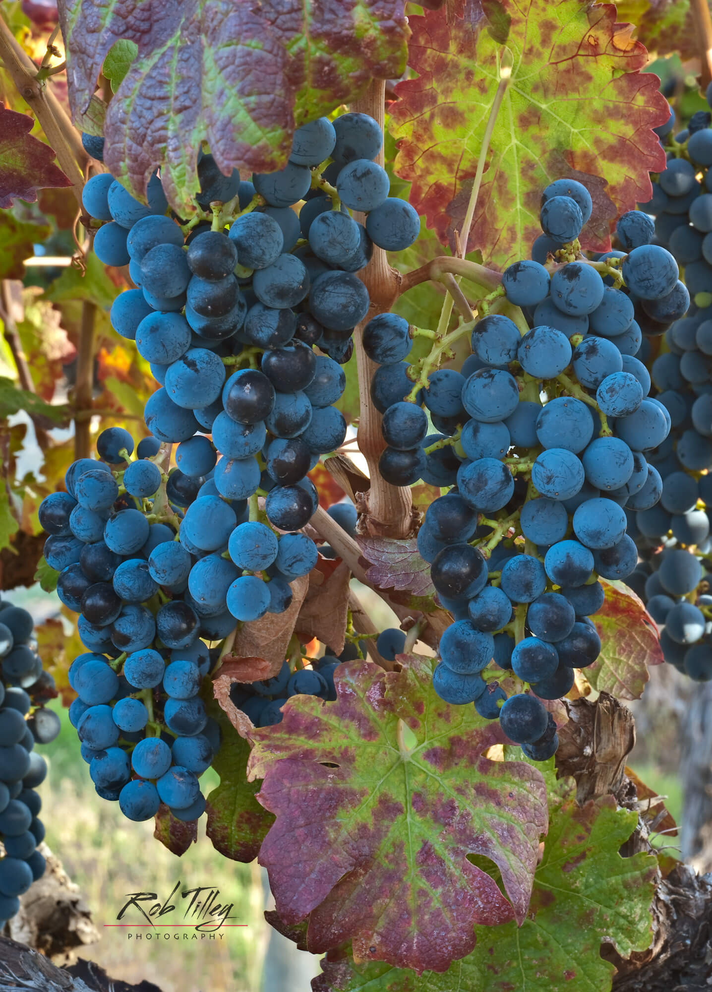Cabernet Sauvignon Grapes II