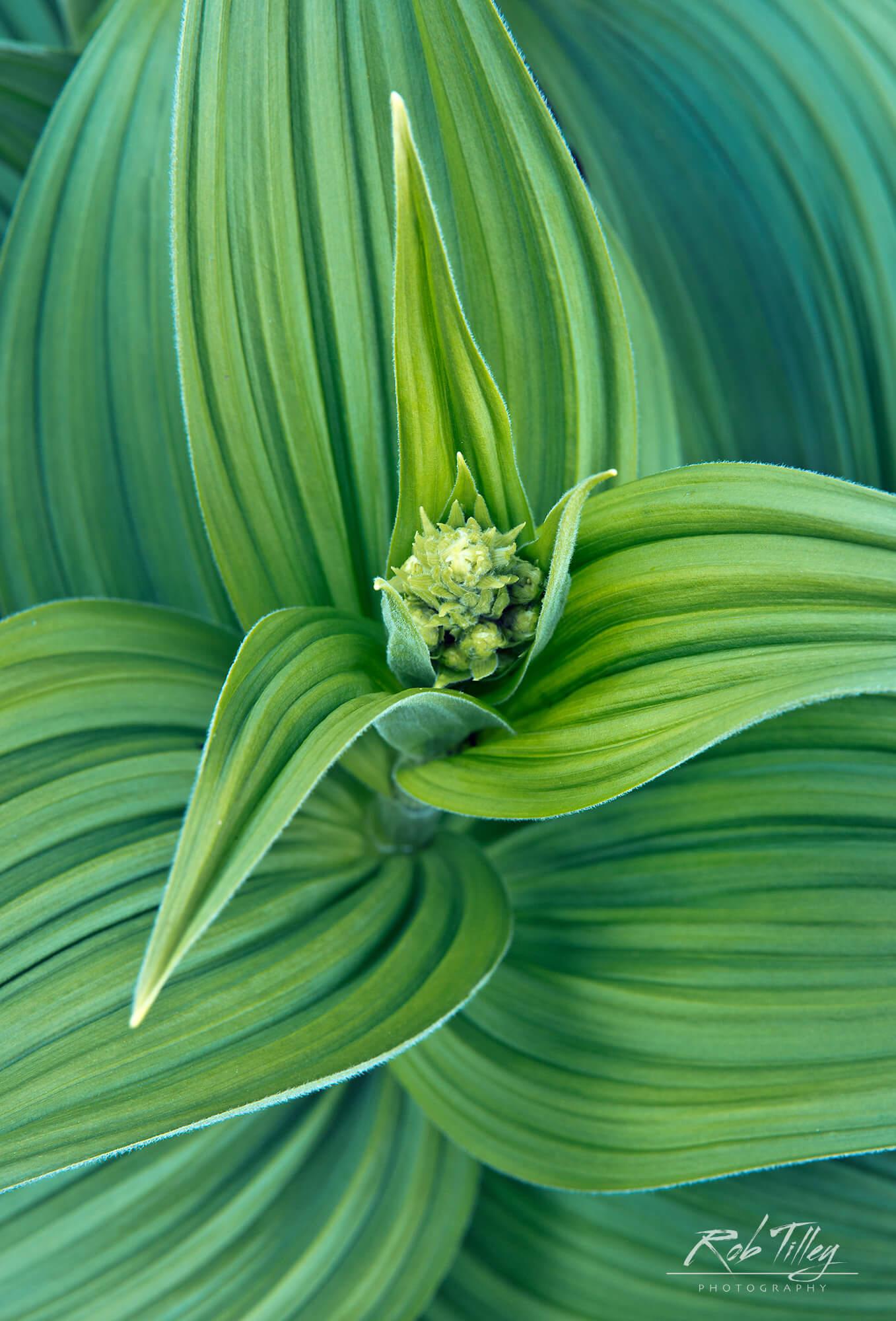 Corn Lily.jpg