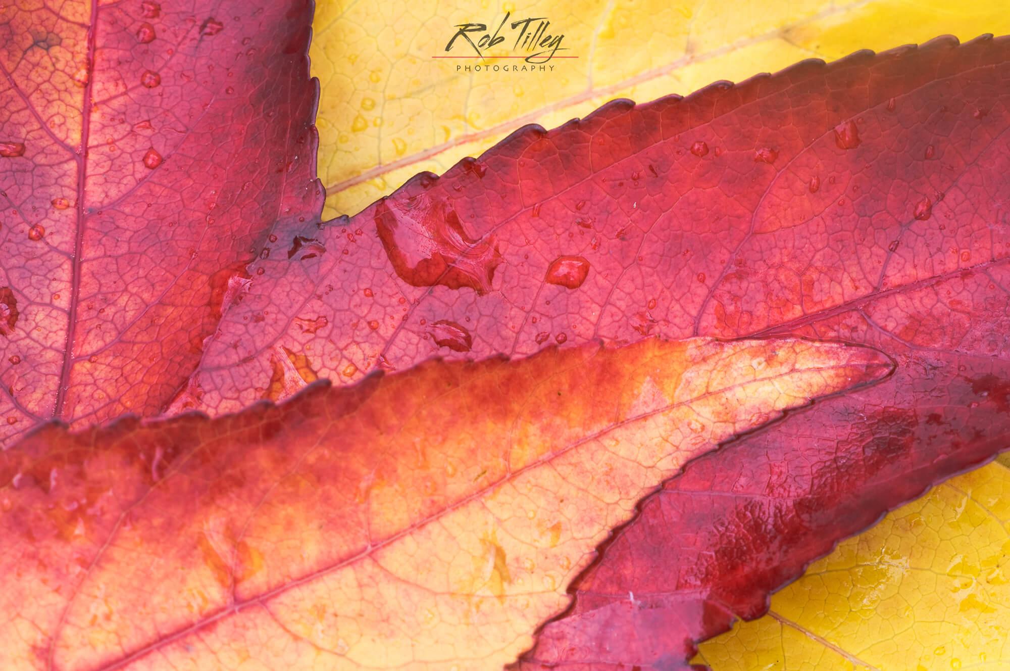 Sweet Gum Leaves.jpg