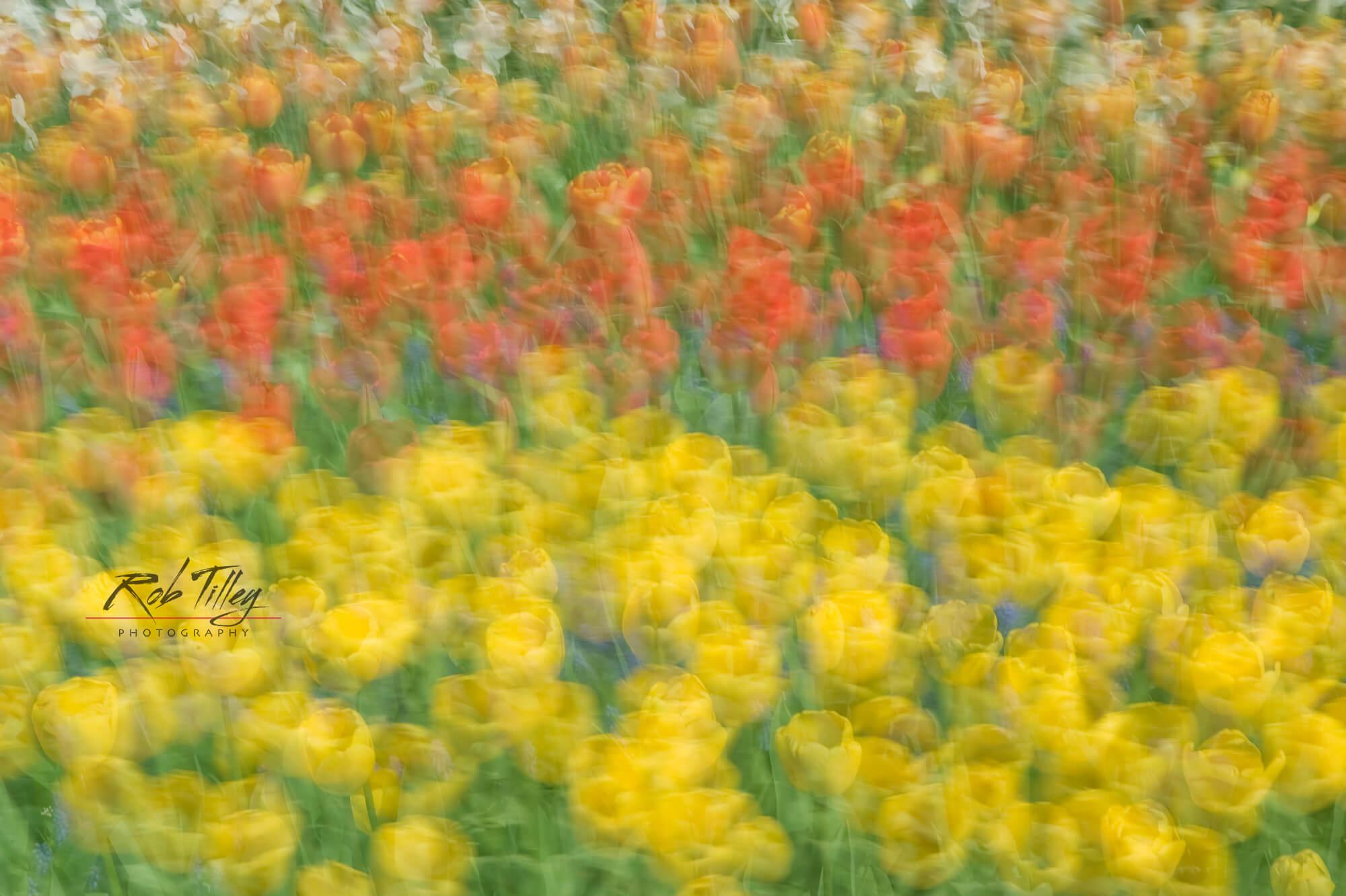 Tulip Abstract.jpg