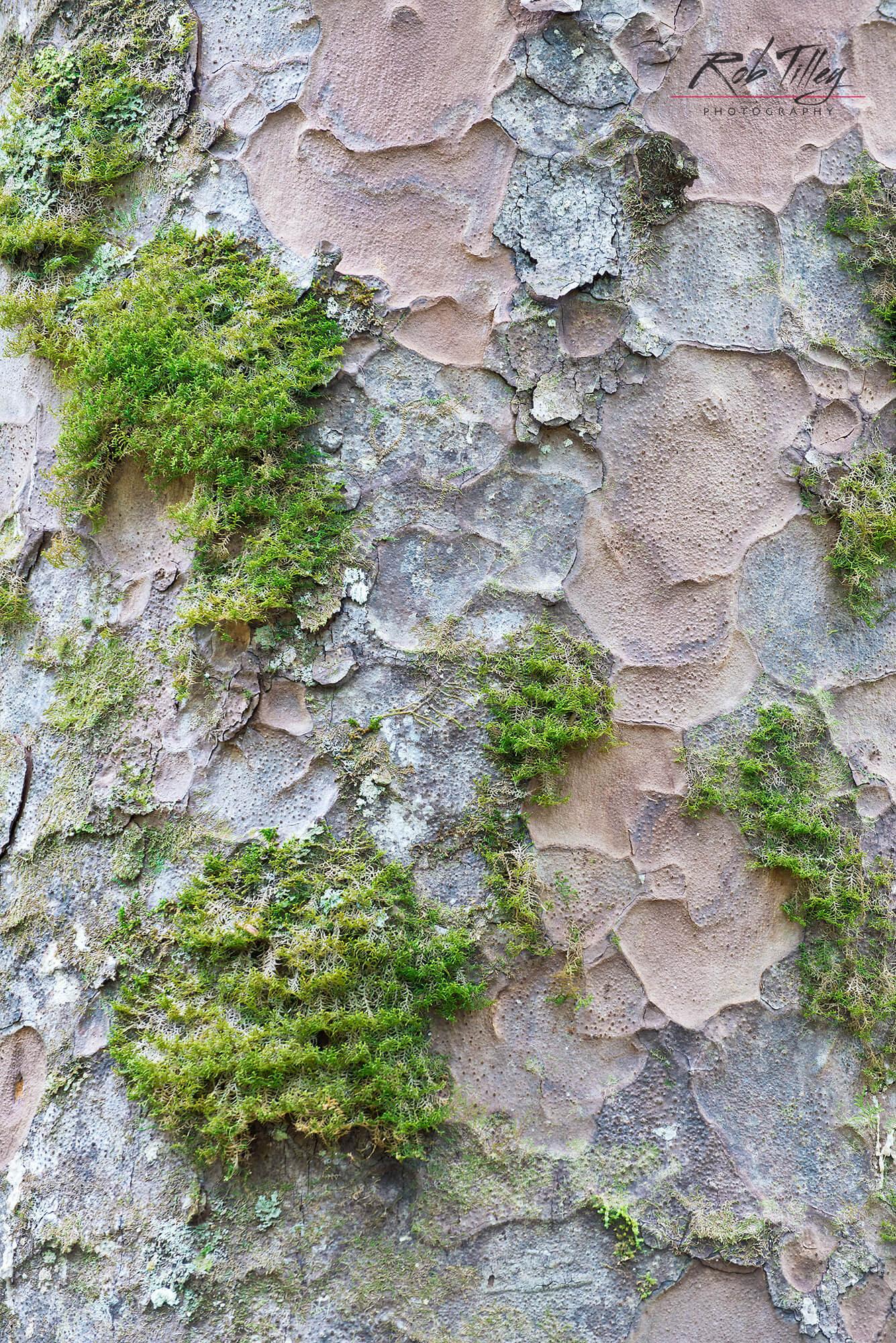 Kauri Trunk & Moss