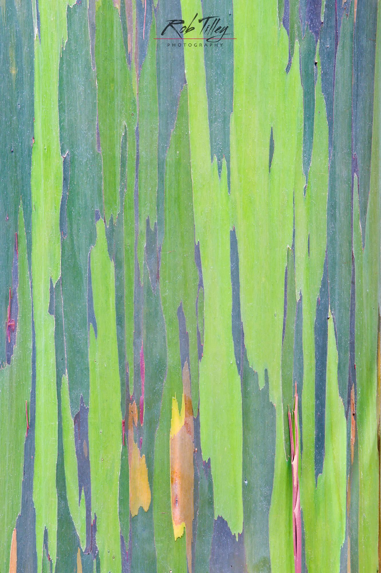 Rainbow Eucalyptus Trunk